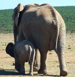 US elephant ivory ban