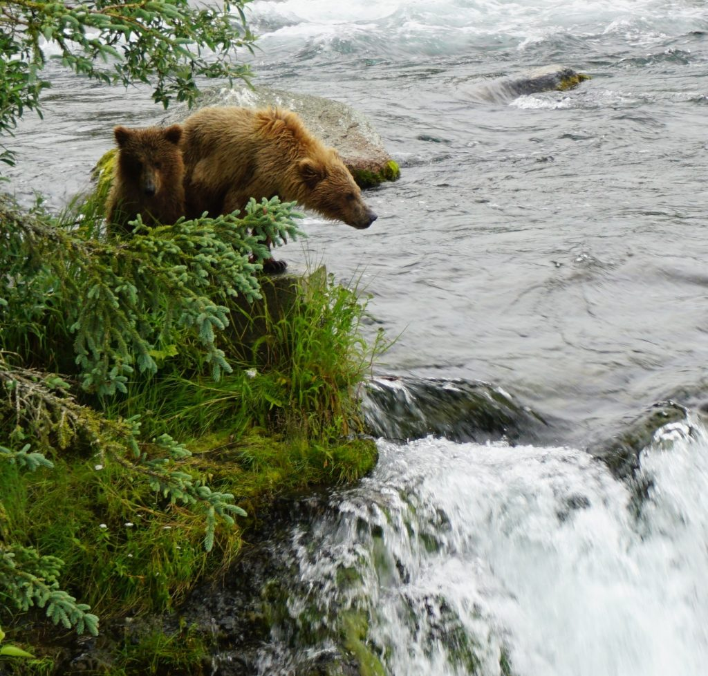 Katmai bear cubs on falls, katmai bears 2016