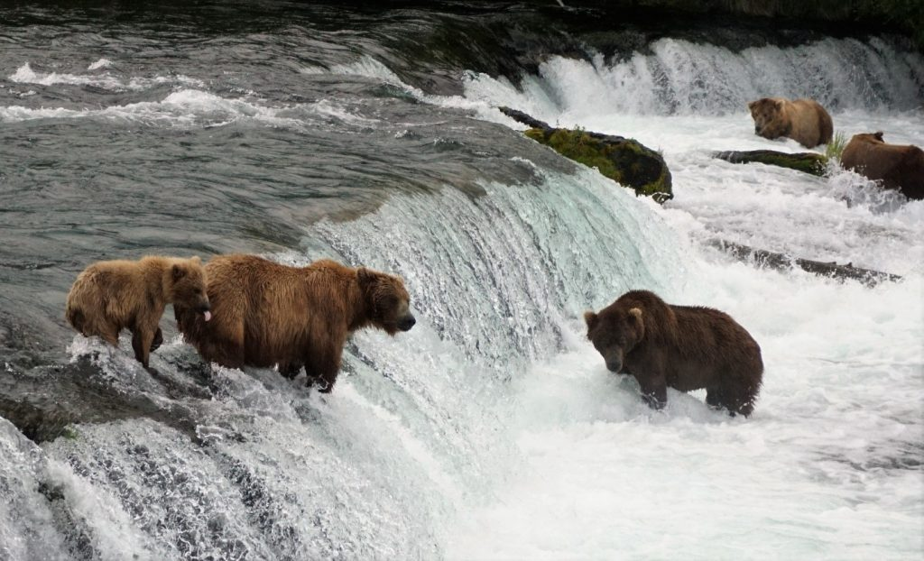 Katmai bears 2016 fishing