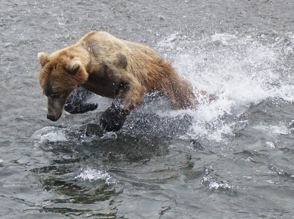 Katmai bears 2016 and fish