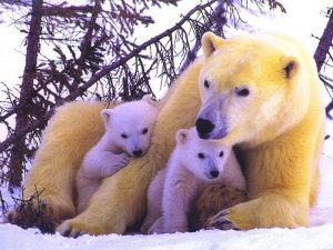 polar-bears-1400264