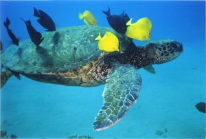 hawaiian-green-sea-turtle-1-1482511-1279x862