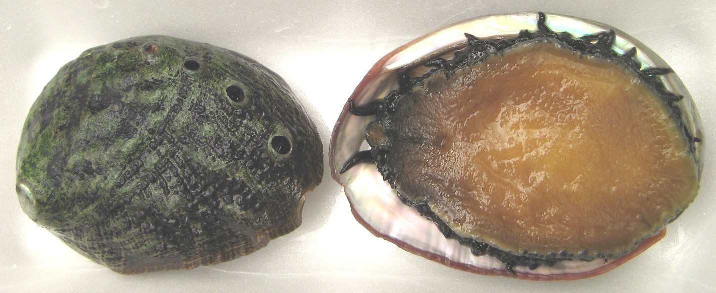 Abalone opened showing meat and shell