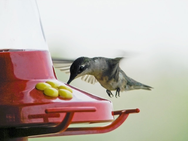 Hummingbird hovering at a sugar water feeder