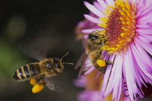 Honey bees with pollen baskets full of pollen to bring back to their hive.
