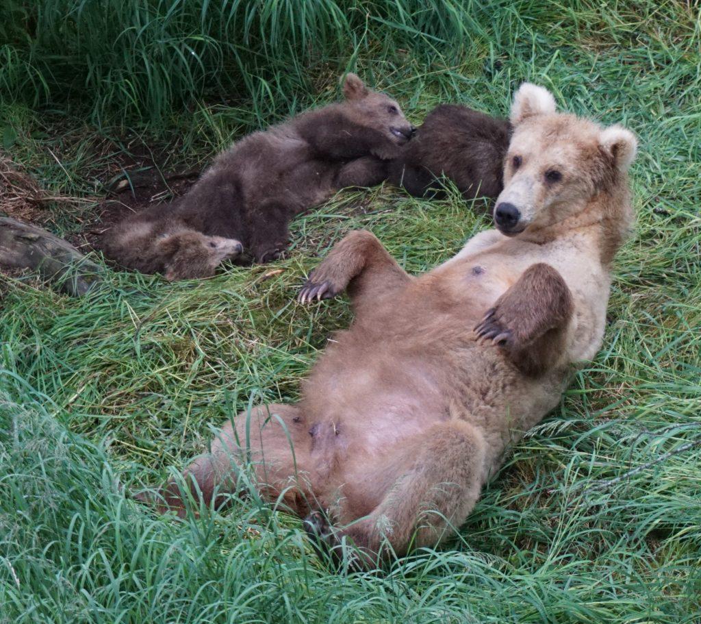 Katmai bears, grazer and three cubs