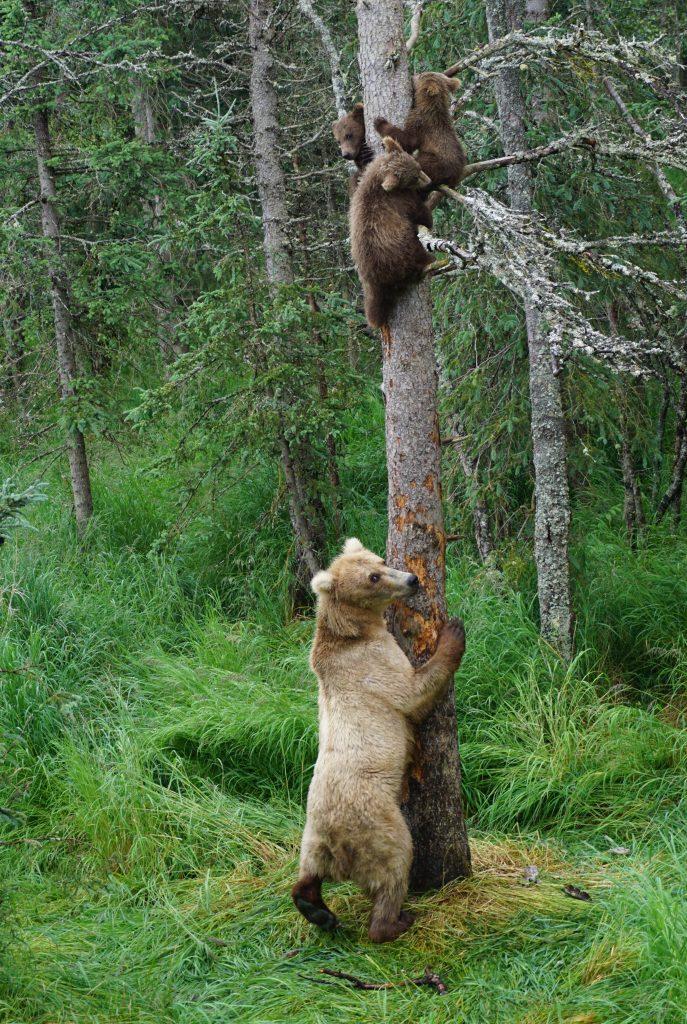 Katmai bears, grazer and cubs