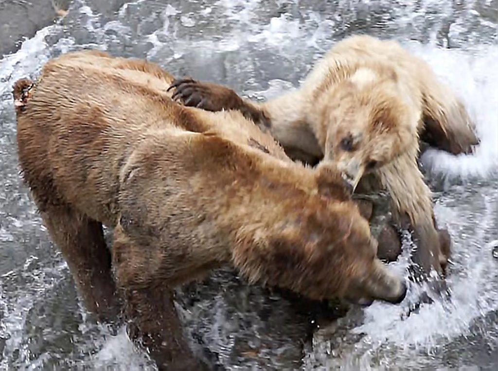 Katmai bears, bear fight