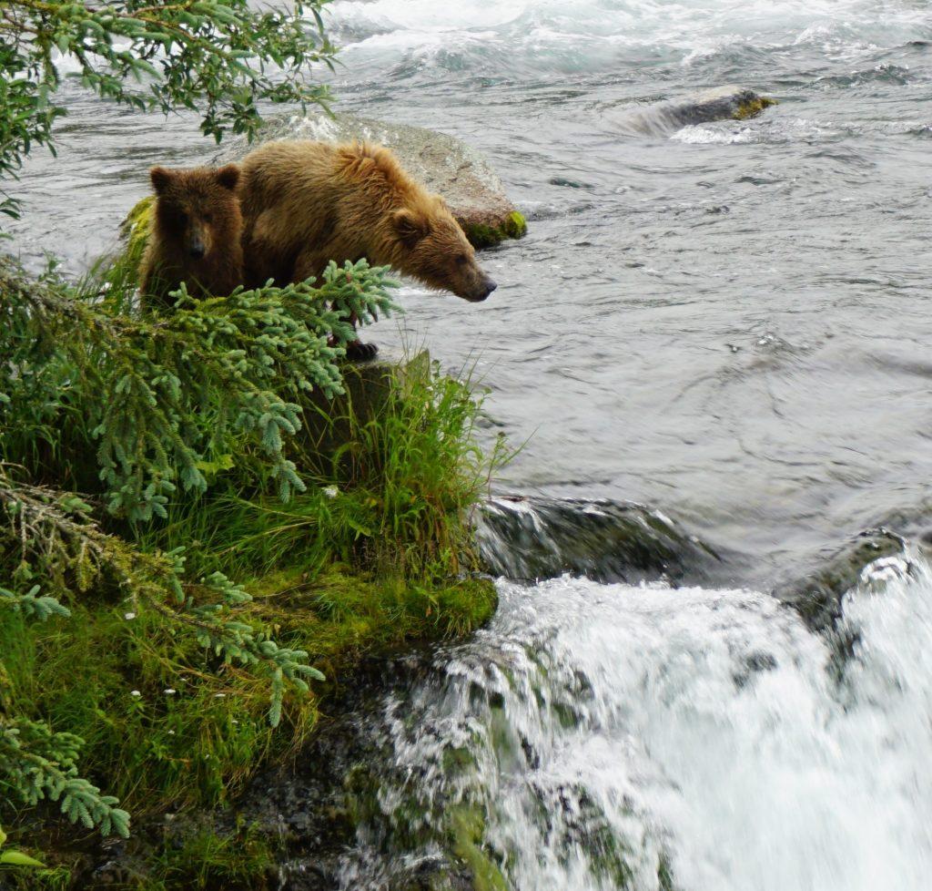 Katmai bear cubs on falls, katmai bears 2016