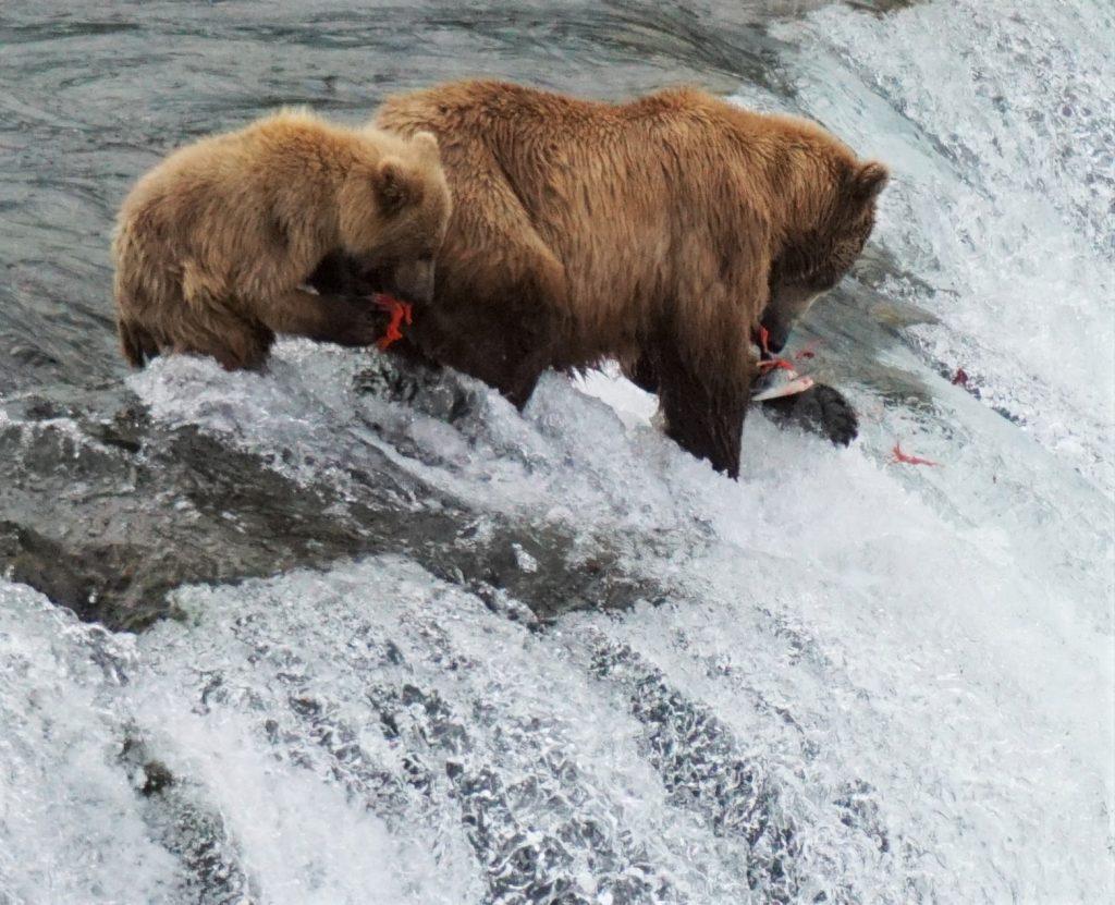 katmai bears 2016