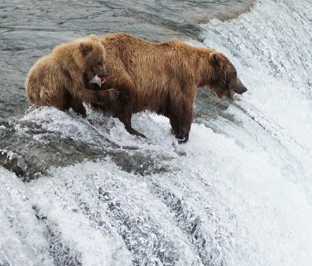 Katmai bears 2016 and cub