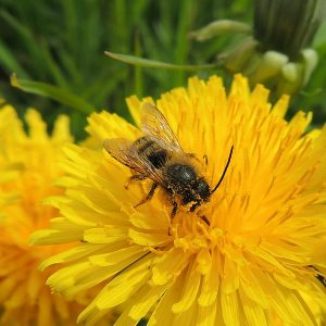 A honey bee gathering pollen from a dandelion flower